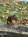 cibo dello scoiattolo nuts Fotografie Stock