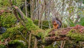 Cibo dello scoiattolo rosso Immagine Stock Libera da Diritti