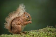 Cibo dello scoiattolo rosso. Immagini Stock Libere da Diritti