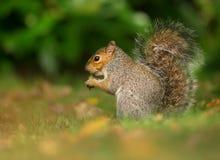 Cibo dello scoiattolo rosso Fotografie Stock Libere da Diritti
