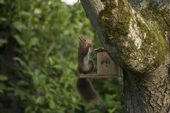 Cibo dello scoiattolo rosso Immagini Stock