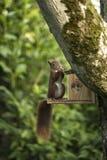 Cibo dello scoiattolo rosso Fotografia Stock