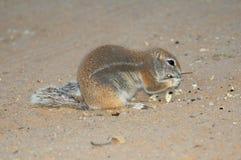 Cibo dello scoiattolo a terra del capo Fotografia Stock