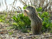 Cibo dello scoiattolo a terra della banda di Thirtreen fotografia stock