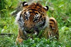 Cibo dello sguardo feroce della tigre Immagine Stock