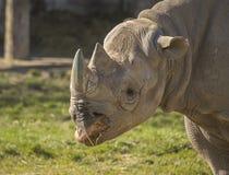 Cibo di rinoceronte Fotografie Stock Libere da Diritti