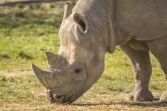 Cibo di rinoceronte Immagini Stock Libere da Diritti