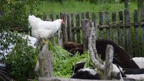Cibo di sorveglianza delle pecore del pollo stock footage