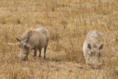 Cibo di Wharthogs Fotografie Stock