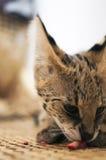 Cibo femminile/che gode del serval di leptailurus del gatto del serval di mezza vista laterale dell'osso Fotografie Stock