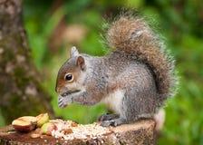 Cibo grigio dello scoiattolo Immagine Stock