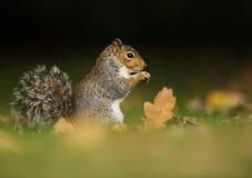 Cibo grigio dello scoiattolo Fotografia Stock