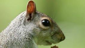 Cibo grigio sveglio dello scoiattolo stock footage