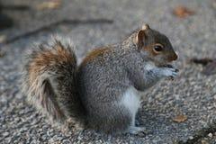 Cibo grigio sveglio dello scoiattolo Washintong D C fotografie stock libere da diritti