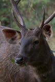 Cibo maschio dei cervi del sambar Fotografie Stock Libere da Diritti