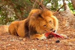 Cibo maschio del leone Fotografia Stock Libera da Diritti