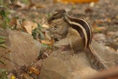 Cibo occupato dello scoiattolo Fotografia Stock