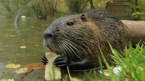 Cibo simile a pelliccia selvaggio sveglio di nutria (ratto, nutria del fiume) video d archivio