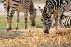 Cibo a strisce della zebra delle pianure. Fotografia Stock