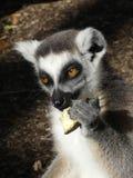 Cibo sveglio delle lemure Ringtailed Immagine Stock Libera da Diritti