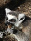 Cibo sveglio delle lemure Ringtailed Immagini Stock