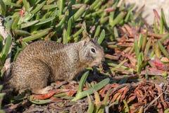 Cibo sveglio dello scoiattolo a terra di California Immagine Stock Libera da Diritti