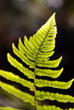 Cibotium Στοκ Εικόνες