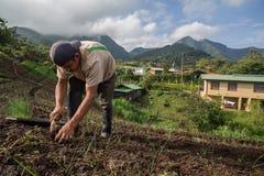 Ciboulette croissante de travailleur en Amérique Centrale Photographie stock libre de droits