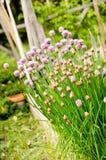 Ciboulette dans le jardin d'herbe Photos stock