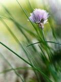 Ciboulette de floraison Image stock