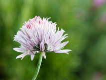 Ciboulette de floraison Images stock