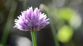 Ciboulette de floraison clips vidéos