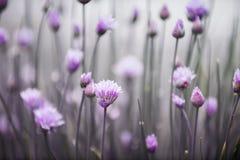 Ciboulette fleurissante Image libre de droits