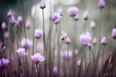Ciboulette fleurissante Photographie stock libre de droits