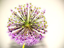 Ciboulette ornementale, inflorescence ronde Photographie stock