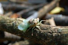 Cicada έντομο Στοκ Φωτογραφία