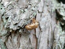 Cicada ή ακρίδων κοχύλι Στοκ Εικόνα