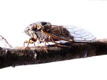 Cicada ενήλικη στον ήλιο απομονωμένη μακροεντολή Στοκ Φωτογραφίες