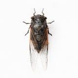 Cicada εντόμων που απομονώνεται στο άσπρο υπόβαθρο Στοκ Εικόνα