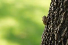 Cicada (ημίπτερα: Cicadidae) moult κρεμώντας από ένα δέντρο Στοκ Φωτογραφίες