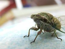 Cicada κινηματογραφήσεων σε πρώτο πλάνο έντομο Στοκ Εικόνες