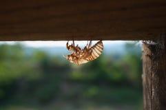 cicada κουκούλι Στοκ Εικόνες