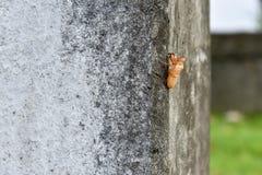 Cicada κοχύλι στη συγκεκριμένη στήλη στοκ εικόνα