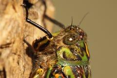 Cicada κλείνει το πορτρέτο Στοκ φωτογραφίες με δικαίωμα ελεύθερης χρήσης