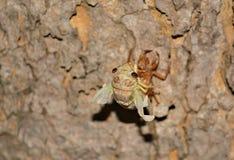 Cicada μάδημα Στοκ Εικόνα