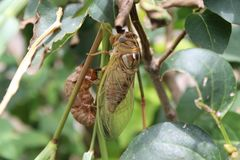 Cicada μετά από να προκύψει από το κοχύλι Στοκ φωτογραφίες με δικαίωμα ελεύθερης χρήσης
