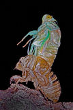 cicada μεταμόρφωση Στοκ Εικόνες
