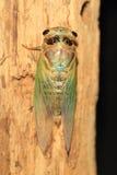 Cicada μετασχηματισμός Στοκ φωτογραφία με δικαίωμα ελεύθερης χρήσης