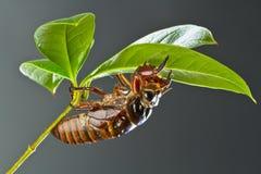 cicada νύμφη Στοκ Εικόνα