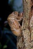 cicada προέκυψε πρόσφατα Στοκ Φωτογραφία